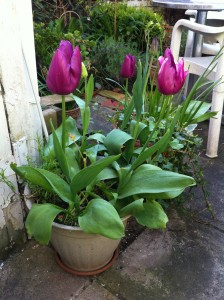 Tulips in my garden - spring!