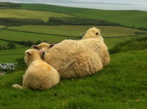 Sheep at Abbotsbury - great view of Chesil Beach.